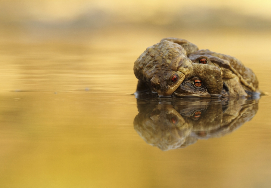 Attempt to amplexus by toad of genus Bufo bufo.